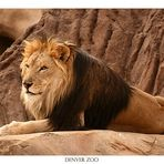 Focusing Lion