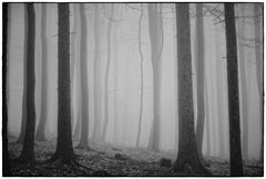 foggy forest IV