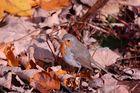 foglie morte con pettirosso