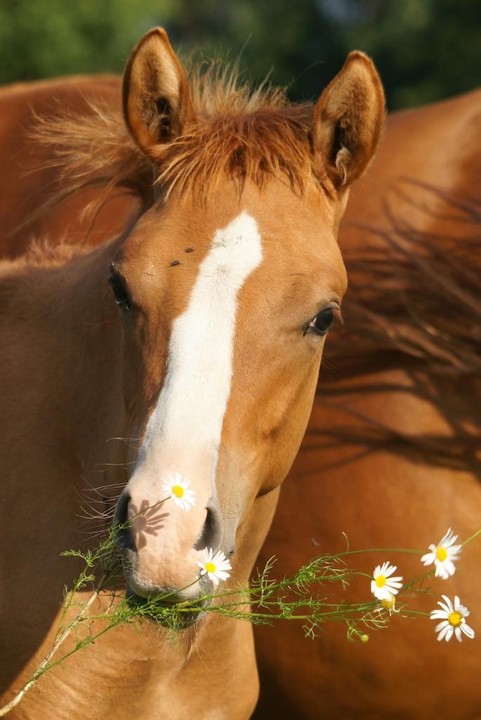 Fohlen mit Blume