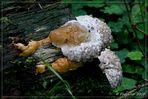"""""""Fomitopsis pinicola"""" mit Gutationstropfen..."""