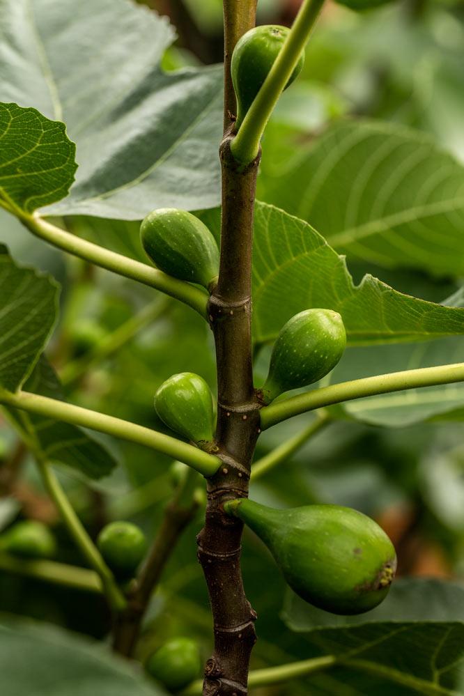food in process - Ficus carica