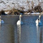 Formation der Schwäne,  Formation of swans,  Formación de cisnes
