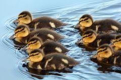 Formations-Schwimmen