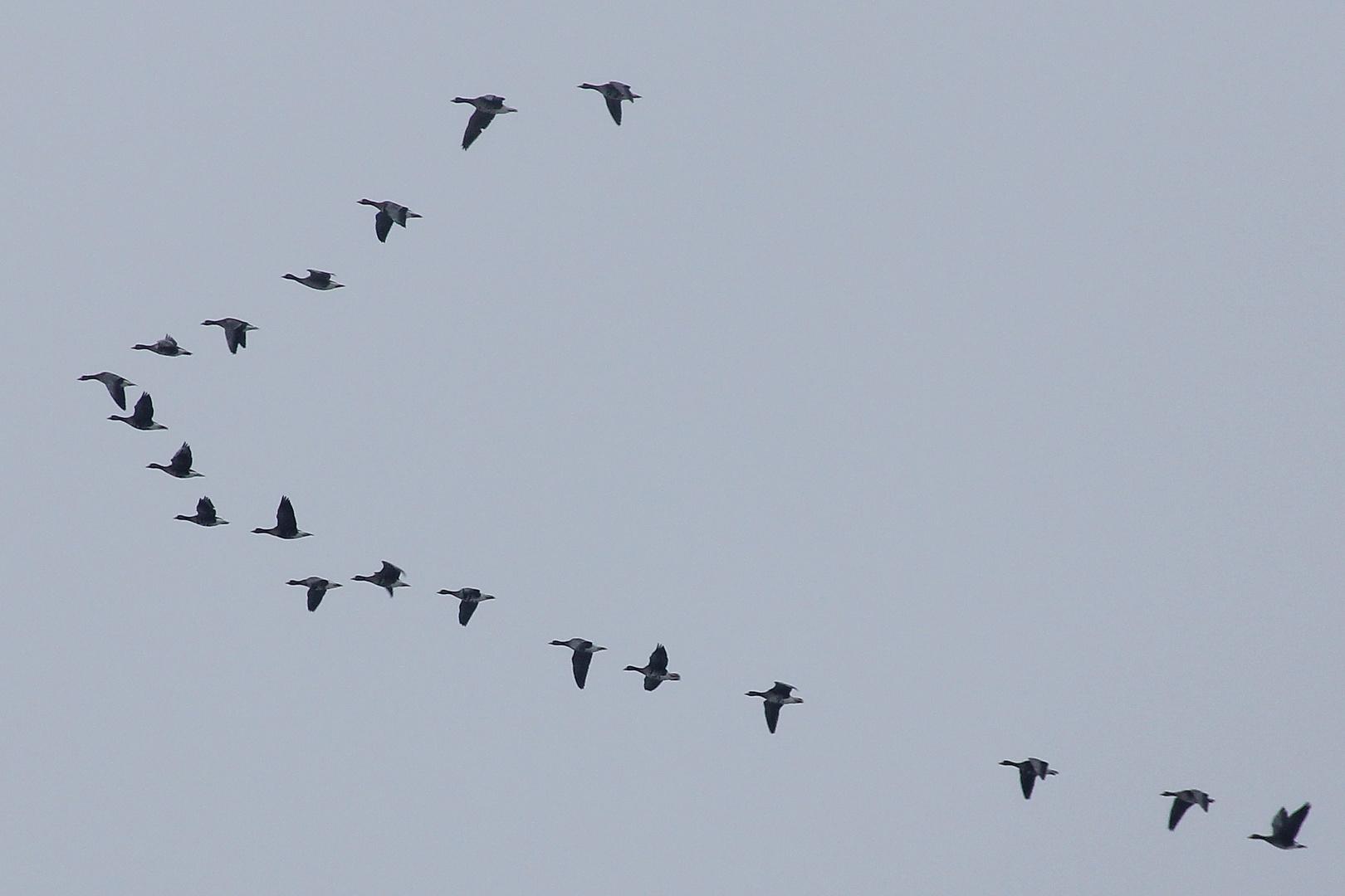 super popular d2e8f dbf10 Formationsflug Foto & Bild | tiere, wildlife, wild lebende ...