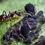 Formicidae - auf der Plantage