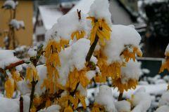 Forsytien im Schnee