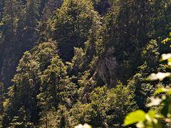Forêt de montagne au Col de la Schlucht II