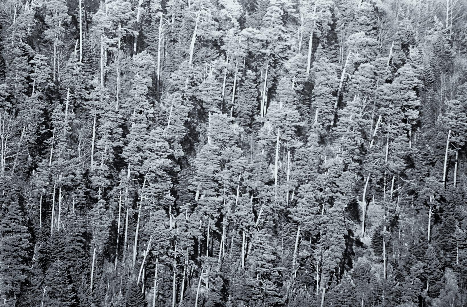 Forêt des pins ...