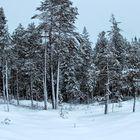 Forêt laponaise