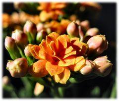 Fortune Flower