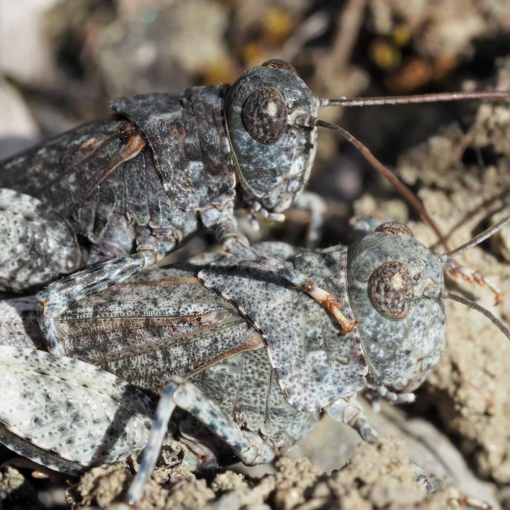 Foto 1: Heuschrecken-Liebe! Rotflügelige Ödlandschrecke (Oedipoda germanica)