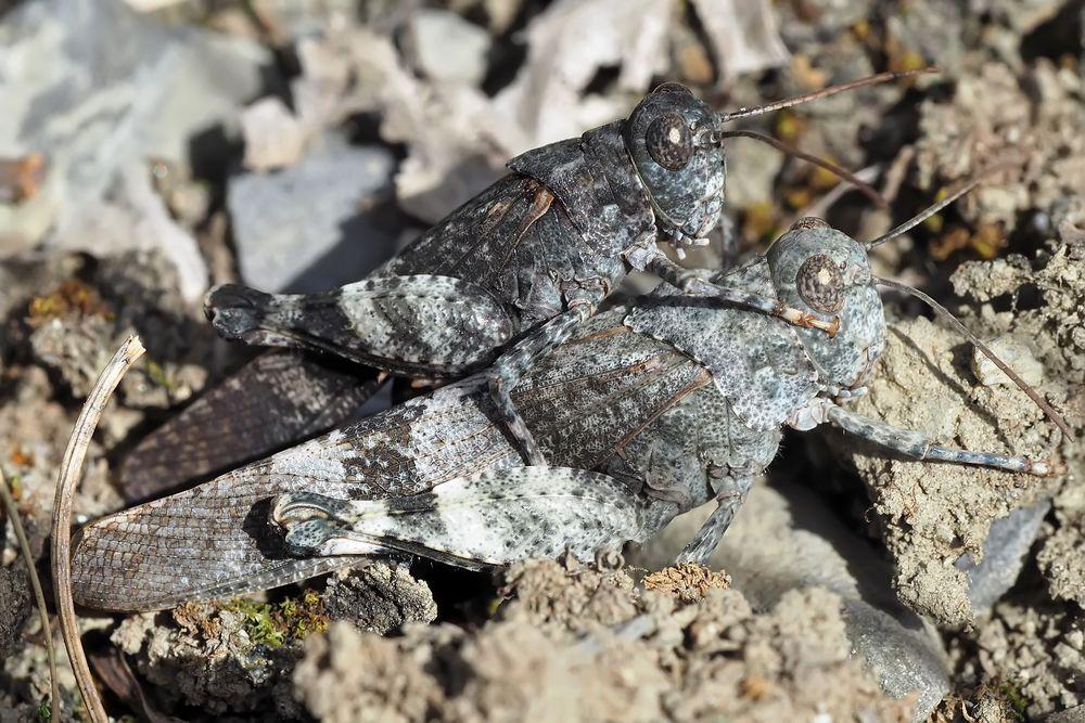 Foto 2: Heuschrecken-Liebe! Rotflügelige Ödlandschrecke (Oedipoda germanica)