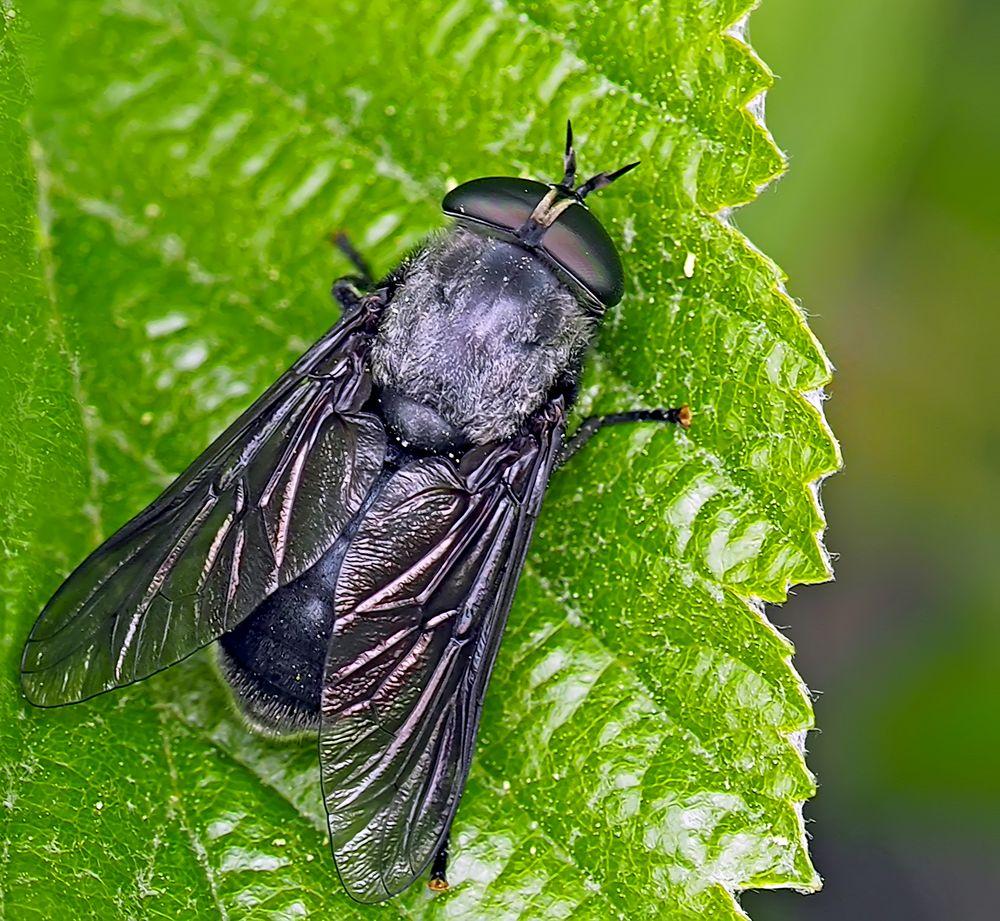 Foto 2 ohne Halos*: Die imposante Schwarze Bremse (Hybomitra bimaculata)! - Le Taon noir!  Photo 1+2