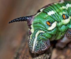 Foto 3: Hinterteil (!) dieser Raupe (Hyloicus pinastri) - Chenille du Sphinx du pin.