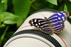 FOTO-PAUSE, blue wave, blue-banded purplewing, tropical blue wave, whitened bluewing, or royal blue