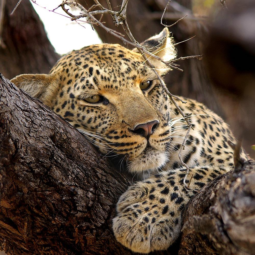 Fotografenglück in Afrika - ein Leopard im Baum! von P. Gerlach
