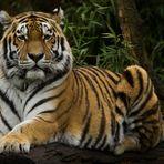 Fotoshooting mit dem Tiger
