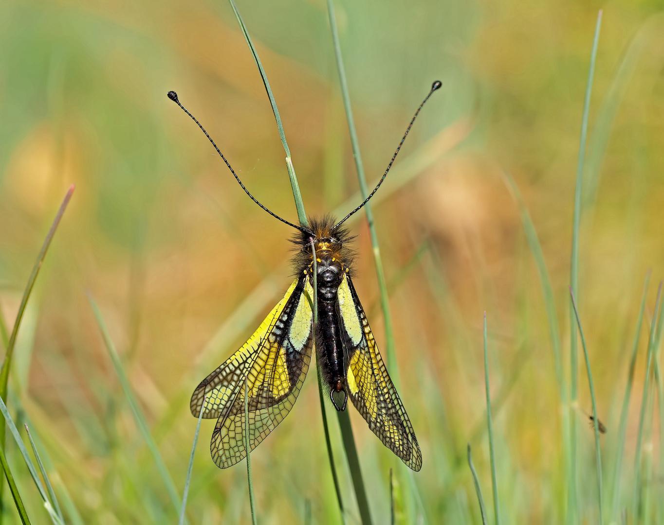 """Fotoshooting mit """"meinem"""" Libellen-Schmetterlingshaft (1. Foto) -  L'Ascalaphe soufré."""