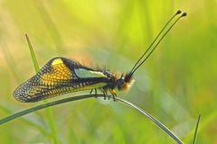 """Fotoshooting mit """"meinem"""" Libellen-Schmetterlingshaft (2. Foto) - L'Ascalaphe soufré."""