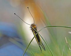 """Fotoshooting mit """"meinem"""" Libellen-Schmetterlingshaft (3. Foto) - L'Ascalaphe soufré."""