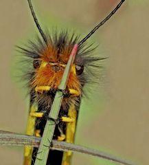 """Fotoshooting mit """"meinem"""" Libellen-Schmetterlingshaft (4. Foto) - L'Ascalaphe soufré."""