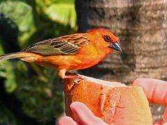 Foudia madagascariensis - handzahmer Vogel - Mauritius