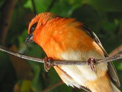 Foudia madagascariensis - handzahmer Vogel (Mauritius)