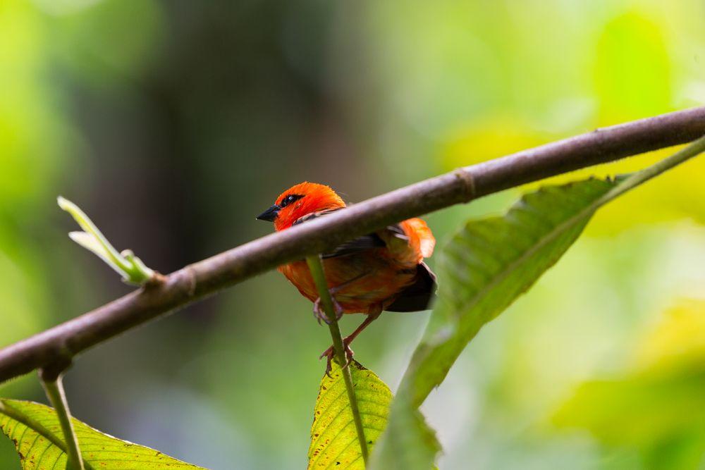 Foudia madagascariensis - Madagaskarweber I