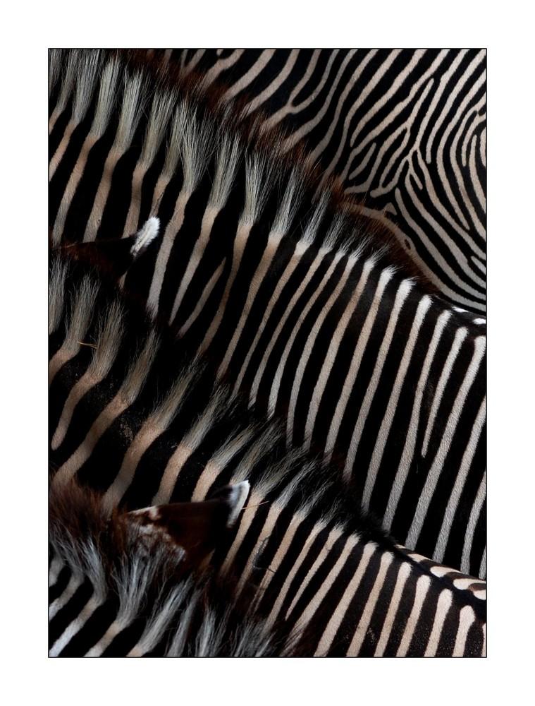 Four Zebras