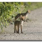 Fox #2 - Sister