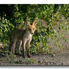 Fox #4 - Il saluto
