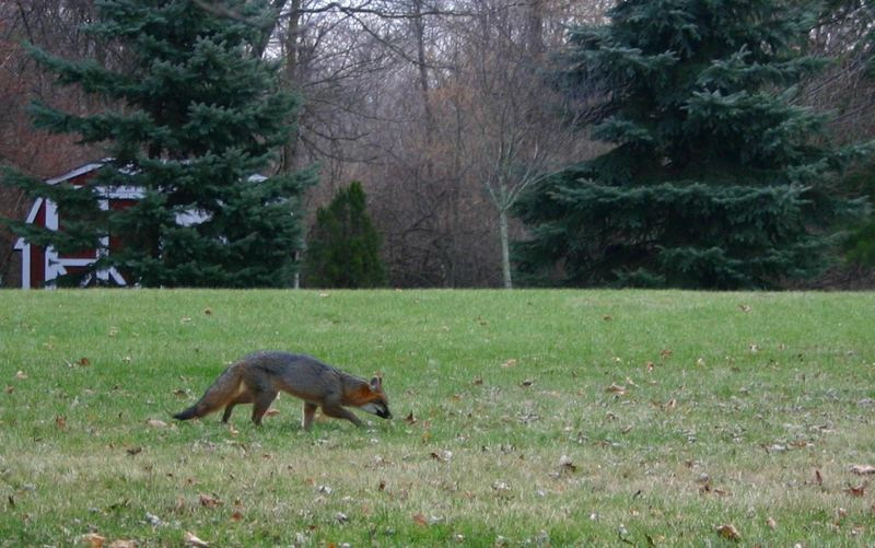 Fox in the Yard