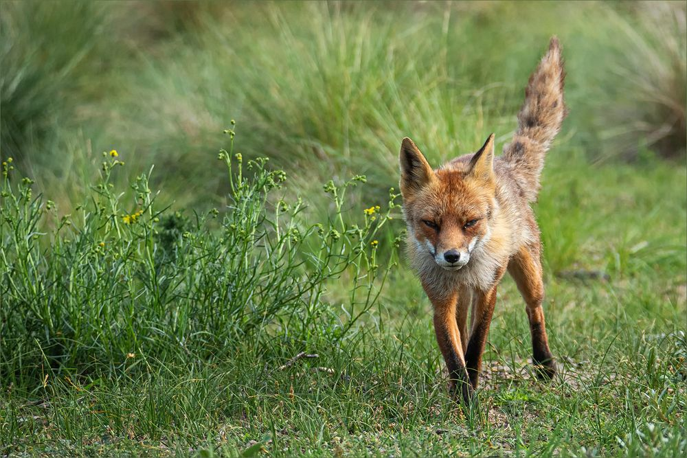 Fox on tour ...