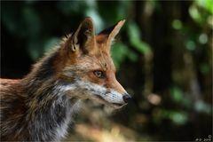 Foxi ...
