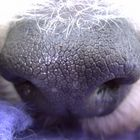 Foxterrier-Nase