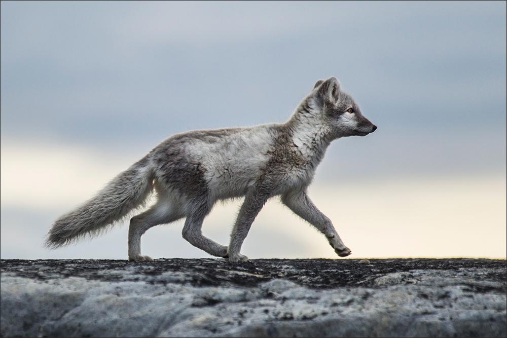 """""""Foxwalk"""""""