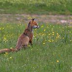 Foxy am kucken