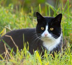 fränkische Katze