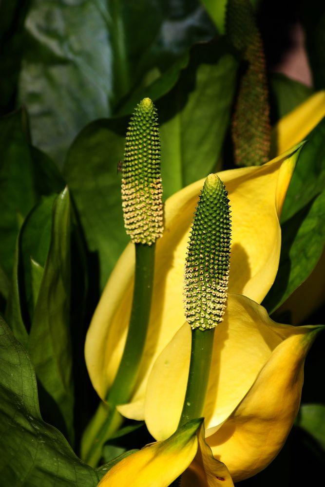 Frag mich nicht, wie sie heißt Blüte, diesmal in Gelb