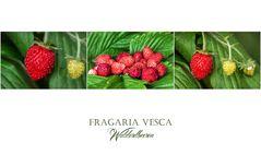 Fragaria vesca - Monatserdbeeren - Walderdbeeren....