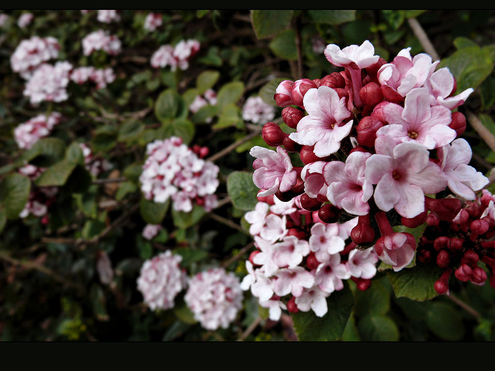 Fragrant spring flowering shrub photo image plants fungi fragrant spring flowering shrub mightylinksfo