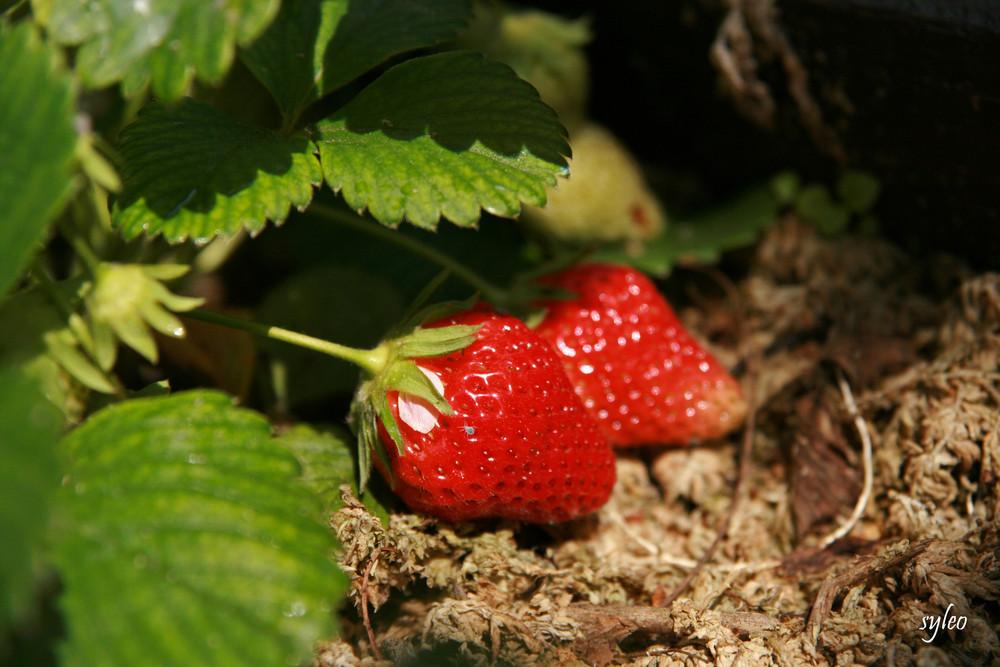 fraise au naturel