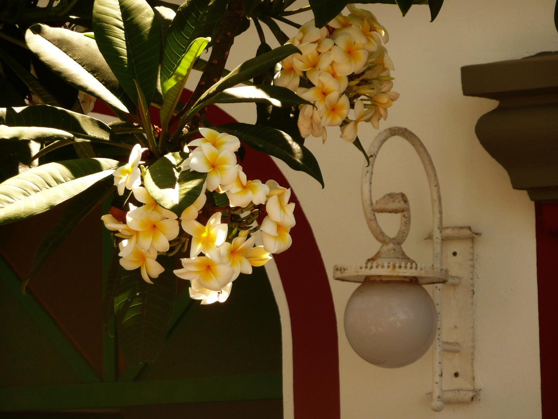 Frangipani-Blüten..