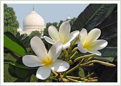 Frangipani Taj