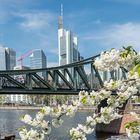 Frankfurt in der Blütenzeit