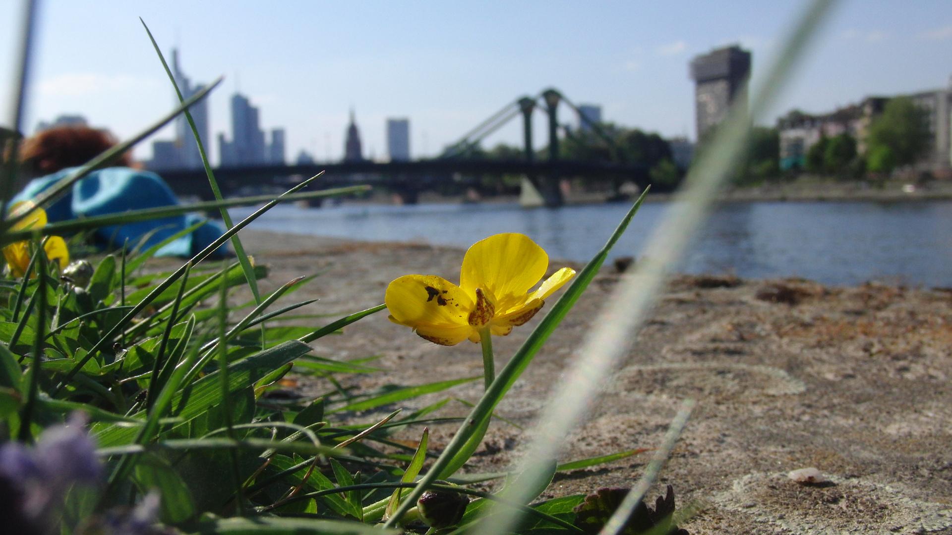 Frankfurter Skyline..unscharf, dafür mit scharfer Blume im vordergrund ;)