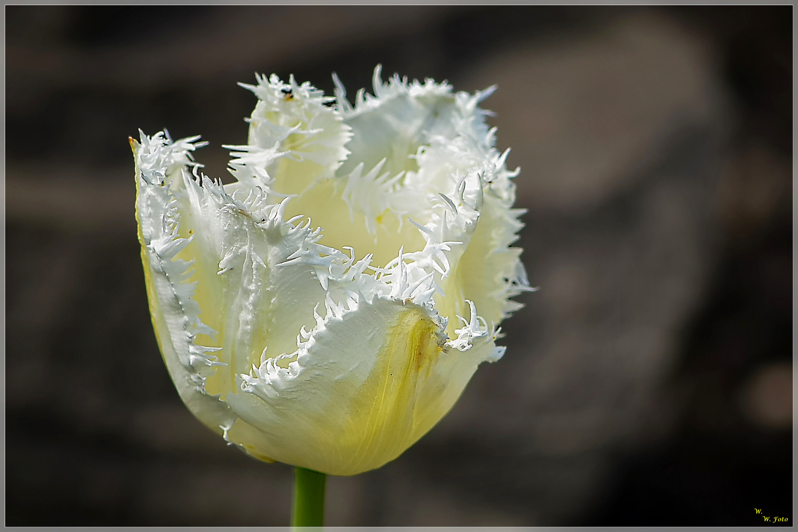 Fransen-Tulpe