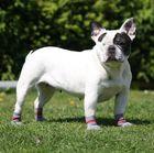 Französisch Bulldogge Becky