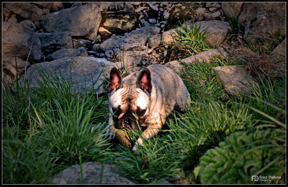 Französische Bulldogge, Amy